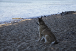 Lolo is sitting and looking at Lake Tahoe