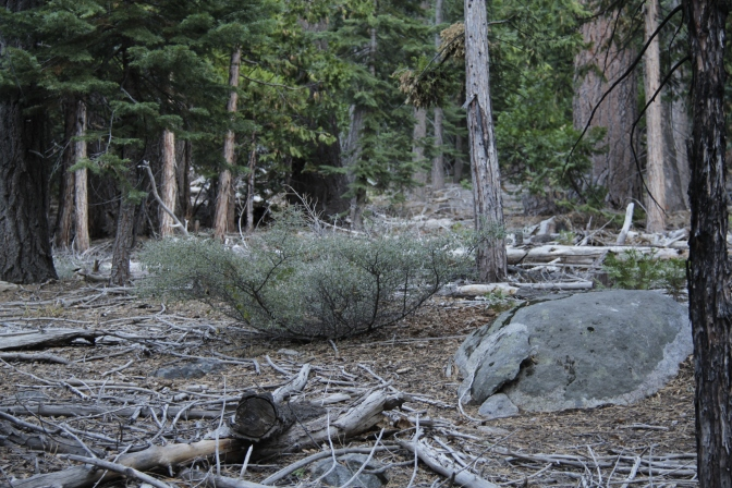 A bush located in Lake Tahoe Basin.