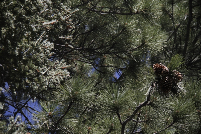 A pair of pine cones on a Pine Tree.