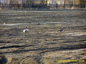 Three Geese at Creamer's Field in Fairbanks, Alaska in Spring of 2007.