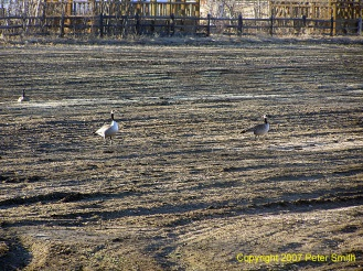 Three Geese at Creamer's Field in Fairbanks, Alaska in Spring of 2007.
