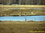 Geese around a pond at Creamer's Field in Fairbanks, Alaska.