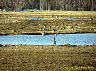 Geese around a pond at Creamer's Field in Fairbanks, Alaska.