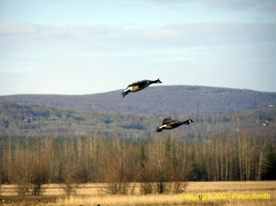 A pair of Geese flying at Creamer's Field in Fairbanks, AK.
