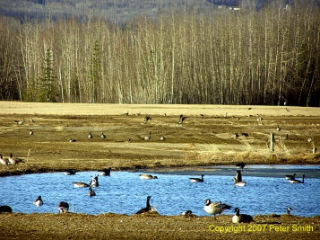 A field of Geese in or around a pond at Creamer's Field in Fairbanks, AK.