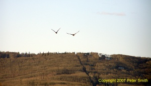 A third pair of Geese flying a little north at Creamer's Field in Fairbanks, Alaska.