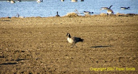 A Geese walking past a pond with other Geese at a pond at Creamer's Field in Fairbanks, Alaska.