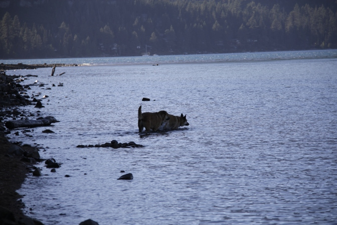 Lolo and Rogue in wading along the south shore of Lake Tahoe.