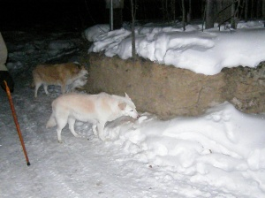 Goldie and Talkeetna eating dirt.