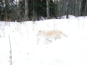 Goldie walking in the snow.