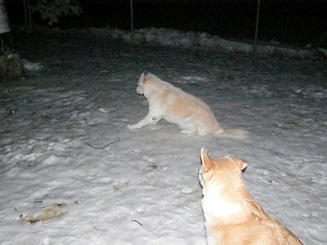 Talkeetna and Goldie looking at something off camera