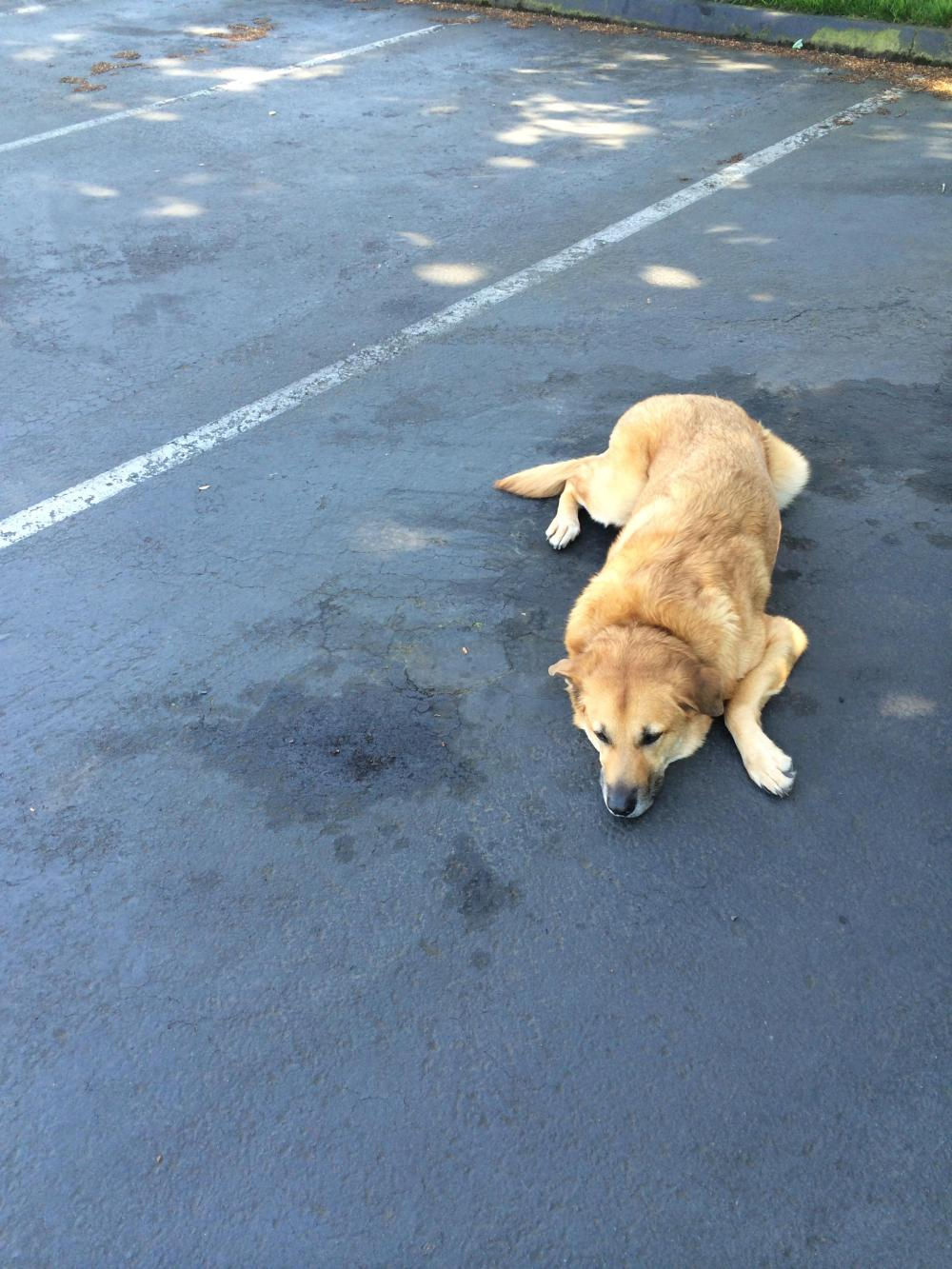 Rogue laying down in a parking spot.