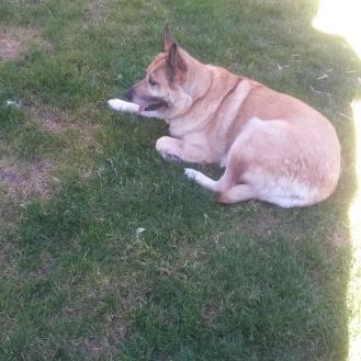 Lolo is in the shade laying on the grass.