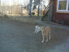 This is a picture of Gray and Goldie in our driveway in Fairbanks, Alaska.