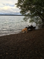 Lolo is drinking from Fallen Leaf Lake again near one of the families dock.