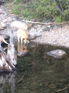 Lolo is drinking from the water edge of Fallen Leaf Lake at the place where I was staying at.