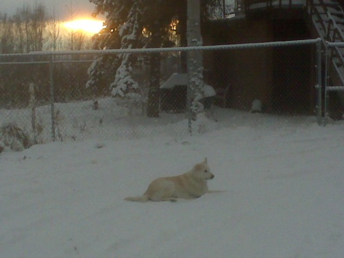 Goldie is sitting in the snow covered driveway in Fairbanks, AK.