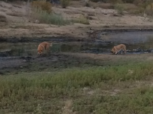 Here is Lolo and Rogue walking in mud at Spooner Lake Nevada.