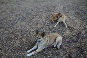 Here is Rogue and Lolo laying down on the ground near a beach on the south shore of Lake Tahoe.