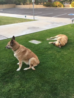 Here is Rogue and Lolo laying on some grass.